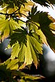 Leaves, Acer japonicum Thunb - Flickr - nekonomania.jpg