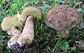 Leccinellum crocipodium (Letell.) Bresinsky & Manfr. Binder 533003 2015-06-29.jpg