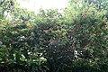 Lehua-haole (Calliandra inaequilatera) (2665340231).jpg