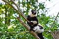 Lemur (36040371893).jpg