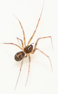 <i>Lepthyphantes</i> Genus of spiders