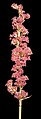 Lepyrodia glauca - Flickr - Kevin Thiele.jpg