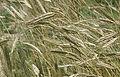 Les Plantes Cultivades. Cereals. Imatge 1781.jpg