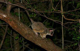 Mohol bushbaby species of mammal