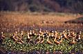 Lesser Whistling Ducks (Dendrocygna javanica) (20594823029).jpg