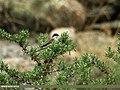 Lesser Whitethroat (Sylvia curruca) (19738159302).jpg