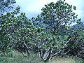 Leucoseprmum conocarpodendron subsp. viridum tree aspect.JPG