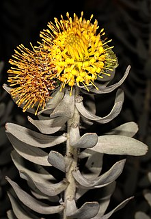 <i>Leucospermum rodolentum</i> The sandveld pincushion is a shrub in the family Proteaceae from the Western Cape of South Africa