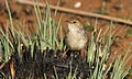 Levaillant's Cisticola, Cisticola tinniens at Suikerbosrand Nature Reserve, Gauteng, South Africa (14982705977).jpg