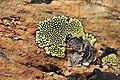 Lichen (16597160399).jpg
