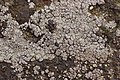 Lichen (39830158585).jpg