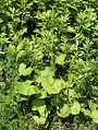 Ligularia stenocephala (bud s2).JPG
