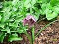 Lilium nanum Bhutan Form.JPG