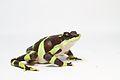 Limosa Harlequin Frog -Atelopus limosus (captive bred) (17033343996).jpg