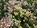 Linaria from Lalbagh flower show Aug 2013 7944.JPG