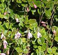Linnaea borealis (bud).JPG
