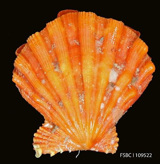 Bright orange Lion's Paw scallop shell