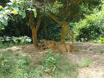 Lions Big Cat Bonds.jpg