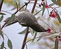 Little wattlebird.jpg