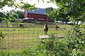 Llamas Grazing in a Farm Yard Webster Township Michigan.JPG