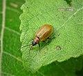 Lochmaea caprea. Willow Leaf Beetle (49247513497).jpg