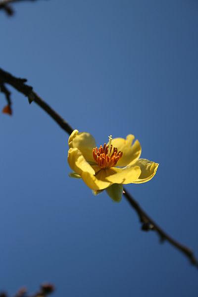 File:Lone Blossom (948774035).jpg