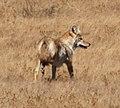 Lone Coyote 2 (7979505275).jpg