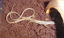 Long tailed Grass Lizard