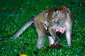 Long-tailed Macaques (Macaca fascicularis) female with baby (14150273732).jpg