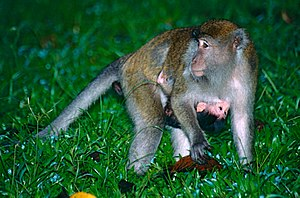 Crab-eating macaque - Female with baby in Bako National Park, Sarawak, Borneo, Malaysia