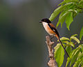 Long-tailed Shrike (Lanius schach).jpg