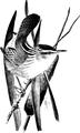 Long - billed Marsh Wren-Birdcraft-0136-15.png