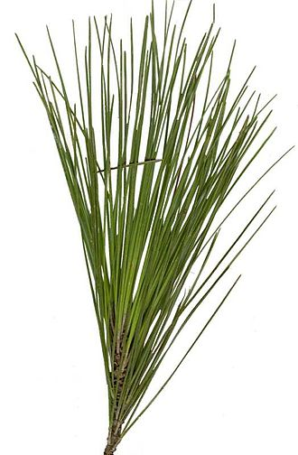 Pinus palustris - Longleaf pine needles from a 30 m specimen near Tallahassee, Florida