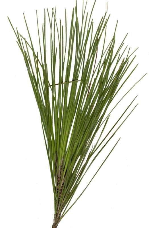 Longleaf Pine01
