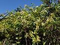 Lonicera japonica kz4.jpg