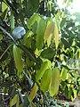 Lophopetalum wightianum.jpg