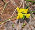 Lotus corniculatus in Aveyron (7).jpg