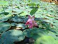 Lotus flower in a pond in kerala.jpg