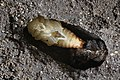 Lucanus cervus female pupa.jpg
