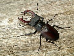 View of a male specimen of the insect stag beetle