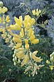 Lupinus arboreus kz8.jpg