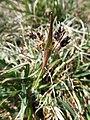 Luzula campestris Allmend Bern 3.jpg