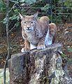 Lynx lynx, Eurasischer Luchs, Zoo Duisburg, 2014 (3).jpg