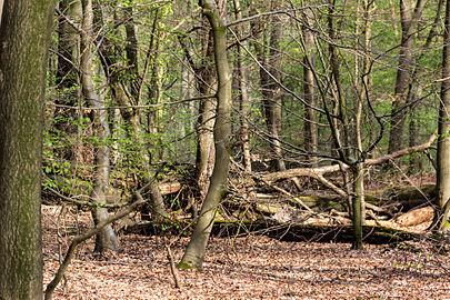Münster, Wolbeck, Wolbecker Tiergarten, Naturwaldzelle -Teppes Viertel- -- 2014 -- 7096.jpg