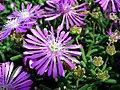 M. Delosperma cooperi flower.JPG