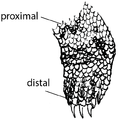 M8. Hind limb scales proximal (V13f).png