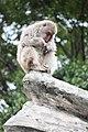 Macaca fuscata in Ueno Zoo 2019 37.jpg