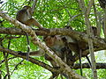 Macaca sinica in Polonnaruwa 04.JPG