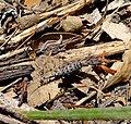Machilinus rupestris. Microcoryphia Meinertellidae - Flickr - gailhampshire.jpg