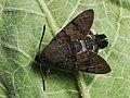 Macroglossum stellatarum - Hummingbird hawk-moth - Бражник-языкан (28118434637).jpg